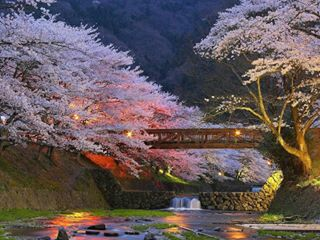 japan nature love cherry blossom night