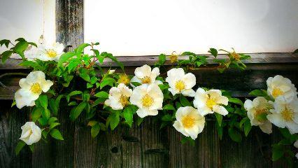 japan hagi beautiful flower nature
