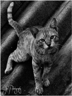 pets & animals cat kitty black & white retro cute