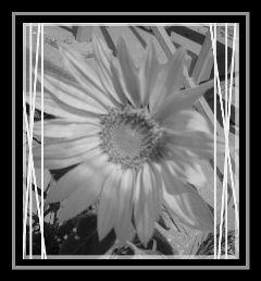 nature black & white flower summer